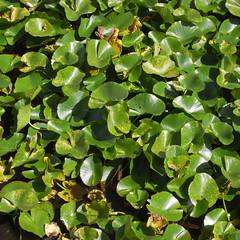 hanabatake park (kotechin) Tags: lake green leaf yamanaka hanabatake