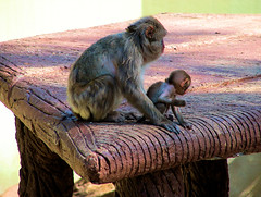 Mother Love (Oceano Mare) Tags: love monkey mother mama queen mamma amore motherlove freddymercury thebigone scimmia oceanomare superaplus aplusphoto