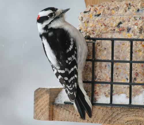 male downy on suet