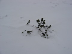 Howden Moor V1 crater: tiny tree in the snow