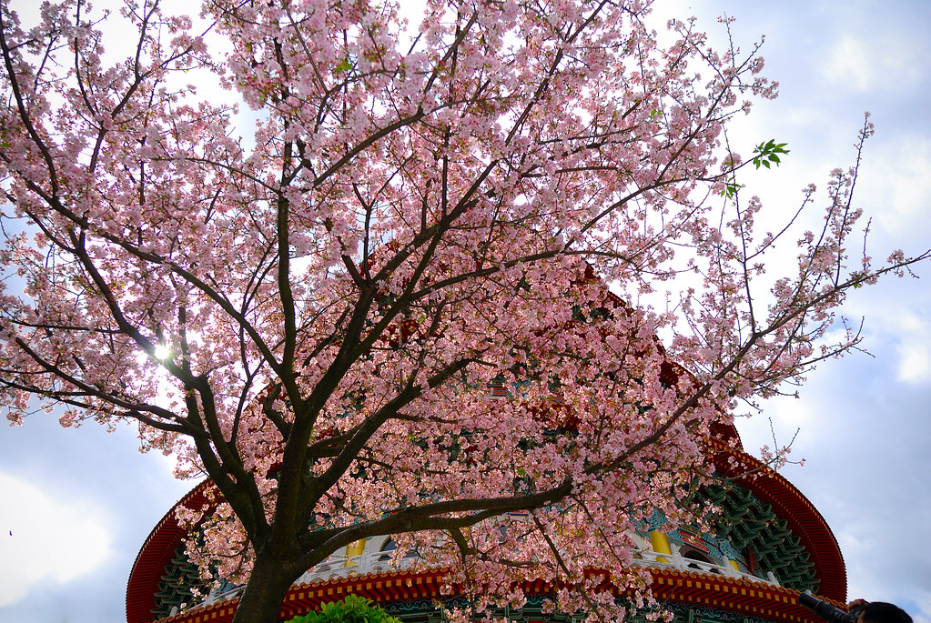 天元宮盛開櫻花
