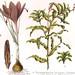1906 Toxic Plants Victorian Botanical Chromolithograph Print (detail)