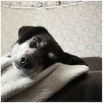Tibbs on the sofa thumbnail