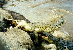 2001 Australia: Daintree Rainforest Crocodiles #9 (dominotic) Tags: 2001 trees nature river movement bank australia mangrove qld cairns daintreeriver tropicalrainforest biologicaldiversity saltwatercrocodile farnorthqueensland repltile crocoldile thedaintreerainforest saltwaterandfreshwatermarinelife