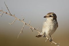 Red-backed Shrike   (Jassim Muqeem) Tags: birds canon kuwait  osk shrike jassim redbacked      muqeem  kvwc