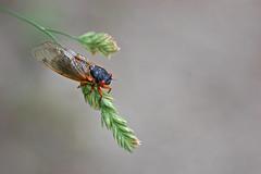 cicada_grass
