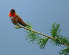 Canada - Pjaro, Vogel, Bird (Galeon Fotografia) Tags: naturaleza bird nature hummingbird natur ave vogel colibri fgel ibon  kolibri  hegazti vol kalikasan naturewatcher nyuni