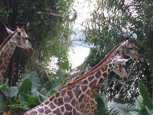 Giraffes at the wonderful Singapore Zoo