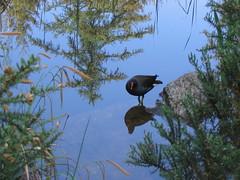 Moorhen (janey_swan) Tags: trees reflection bird water pond moorhen naturethroughthelens