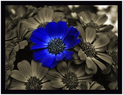 Dare to be different (Carplips) Tags: blue flower sepia cineraria colorselect aplusphoto
