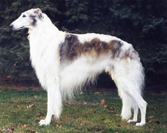 show dog canine russian sighthound borzoi wolfhound