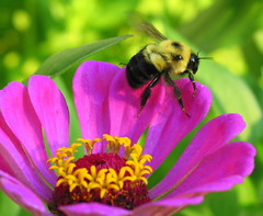 bees - a - plentiful