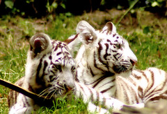 bb tigres blanc (Korentin) Tags: blue baby white france eye animal zoo eyes tiger glance whitetiger babywhitetiger