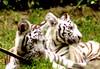 bébé tigres blanc (Korentin) Tags: blue baby white france eye animal zoo eyes tiger glance whitetiger babywhitetiger