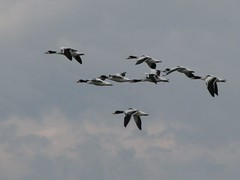 Formation flying (BozzyDK) Tags: birds denmark geese greylaggoose grgs westamager