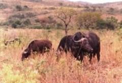 Anglų lietuvių žodynas. Žodis buffalo reiškia n buivolas; bizonas; stripped to the buffalo visai nuogas lietuviškai.