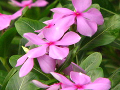 Nayantara (H G M) Tags: flower nature brillianteyejewel hgmukhopadhyay