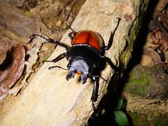 紅圓翅鍬形蟲 Neolucanus swinhoei