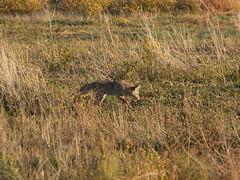 Coyote hunting (lostinfog) Tags: september 2008 colorado coyote e300 taxonomy:order=carnivora taxonomy:genus=canis taxonomy:family=canidae taxonomy:kingdom=animalia taxonomy:phylum=chordata taxonomy:class=mammalia taxonomy:binomial=canislatrans