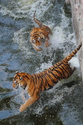 Тигр прыгает на тигра в воде