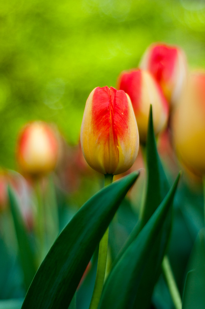 leafy yellow and red tulip