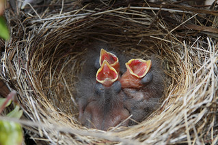 Recently hatched California Towhee chicks in nest ....3 of 3