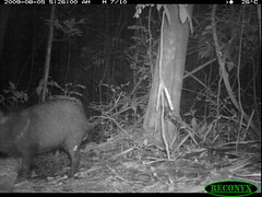 Collared Peccary (siwild) Tags: pigs collaredpeccary bci pecaritajacu taxonomy:common=collaredpeccary taxonomy:group=pigs sequence:index=97 file:name=img0365jpg siwild:study=fruitingpalmtrees siwild:studyId=panapalm siwild:plot=25 taxonomy:species=pecaritajacu siwild:Rank=0 geo:locality=panama sequence:length=140 sequence:id=36056 siwild:trigger=76664 siwild:location=1879 siwild:camDeploy=1356 siwild:date=200908050526000 siwild:imageid=750368 file:path=dpicsrunsattamammalsvplot2c2cimg0365jpg siwild:species=22 siwild:region=panama sequence:key=70 geo:lon=9158202 geo:lat=79845399 BR:batch=sla0620110103051639