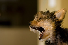 Hear me roar!!!! (iBebels) Tags: dog yorkshire interestingness1 explore kobe yorkshireterrier roar doggie supershot canon2470mmf28 superaplus aplusphoto