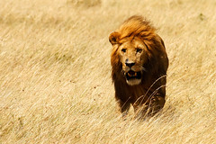 King [ of the ] Windy Lands (| HD |) Tags: africa 20d field grass canon bravo king wind kenya lion windy safari land hd darwish hamad savanna animalkingdomelite bigwavesinmywildriver fiveflickrfavs ostrellina welldone123