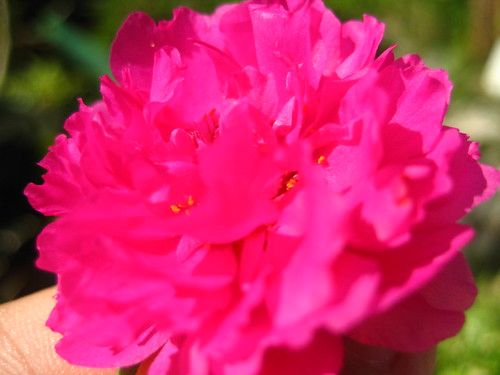 carnation (bright pink)