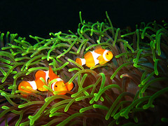 False Anemonefish in Anemone