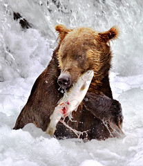 Grizzly with salmon (Rob Kroenert) Tags: bear park usa fish nature alaska river waterfall fishing salmon national grizzly katmai katmainationalpark specanimal sfchronicle96hrs