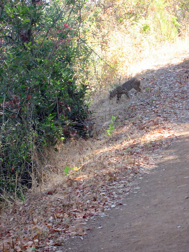 Bobcat on the Upper Rogue Valley Trail