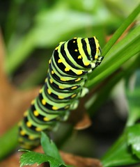 Green Papilio polyxenes caterpillar