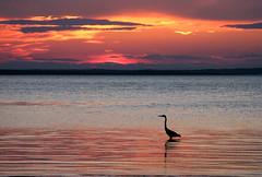 Heron and Canadian Sunset (photoholic1) Tags: ocean sunset sea canada bird heron landscape newbrunswick seabird naturescall supershot flickrsbest flickrgold shieldofexcellence anawesomeshot impressiveimages superbmasterpiece diamondclassphotographer absolute10 treeofhonor