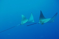A couple of eagle rays (sciack) Tags: underwater redsea egypt sharmelsheikh diving rasmohammed