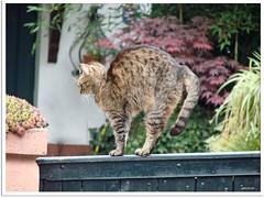 Katzenbuckel - cat's  arched  back