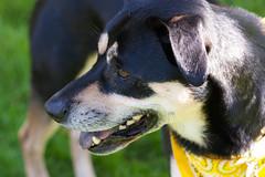 Waiting to play (beyondramen) Tags: dog oliver handsomeboy dogsitting atthepark