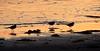 Dunlin,Tobha Mhor beach, South Uist (Niall Corbet) Tags: sunset sea beach island scotland south calidris alpina outer dunlin uist hebrides howmore