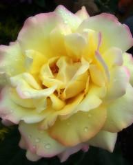 multicolored (basha04) Tags: rose close multicolored basha04