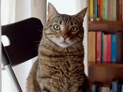 Gatto Mimmo studioso (Gatto Mimmo) Tags: cats cat chat tabby books libri gato gatto professore mimmo psicologo insegnante cc200 cc100 gattomimmo bestofcats