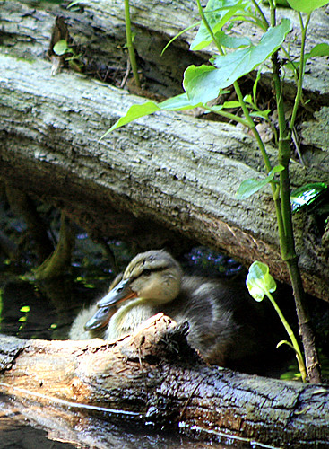 Baby Ducks Hiding Out