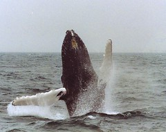 In celebration of the whale (khanrizzi) Tags: nature freedom sealife cape whale whales humpback cod breaching