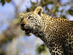 Young Leopard (Lyndon Firman) Tags: africa canon southafrica eos cub bravo safari leopard malamala sabisands specanimal animalkingdomelite abigfave jalalspagesanimalkingdomalbum bfgreatesthits qemdfinchadminsfavforaugust