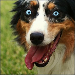 Happy happy, joy joy! (Xanboozled) Tags: portrait dog grin aussie australianshepherd deuce 070707