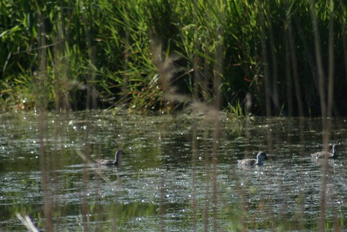 Common Moorhens