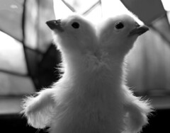 Two-headed chick (Prof. Jas. Mundie) Tags: blackandwhite bw black chicken blancoynegro monochrome monster noir monochromatic taxidermy chick odd freak poultry monsters monstrosity prodigy twoheaded oddity curiosity twoheads sideshow abnormal freaks biancoenero deformed conjoined siamesetwins gaff blancetnoir deformity freakofnature conjoinedtwins mundie monstres abnormality schwarzweis copyrightprotected sarinabrewer worldbest twoheadedchicken freakchicken teratology geneticanomaly jimmundie copyrightjamesgmundieallrightsreserved