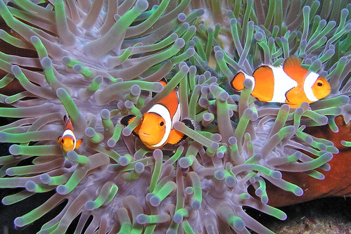 Clownfish by John & Pam Owens.