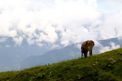 Bovine / Incline (eric_nyc) Tags: switzerland cow grazing