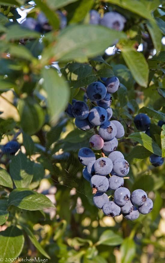 berries like grapes